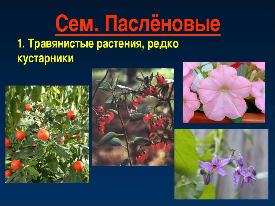 Сем. Паслёновые 1. Травянистые растения, редко кустарники