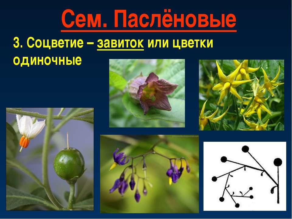 Сем. Паслёновые 3. Соцветие – завиток или цветки одиночные