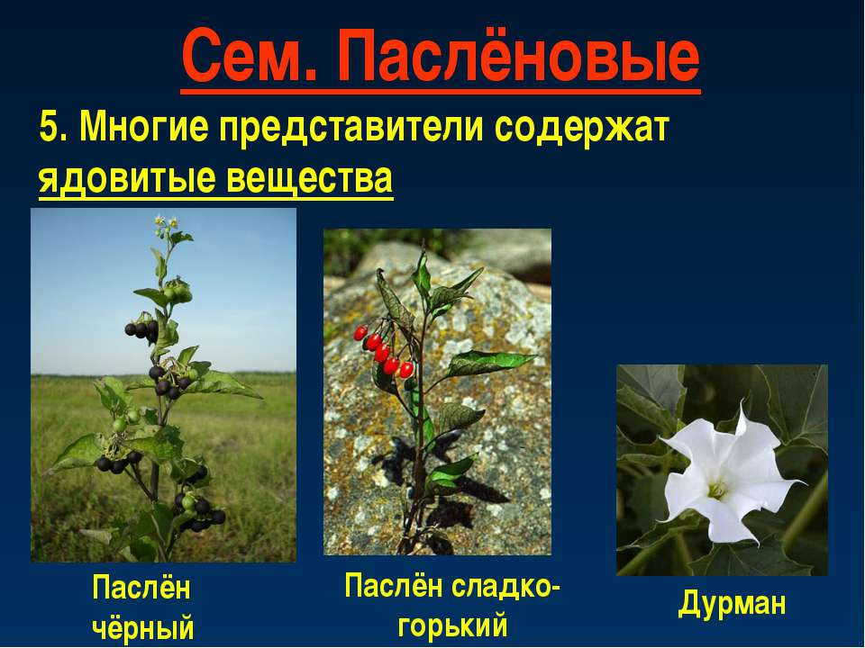 Сем. Паслёновые 5. Многие представители содержат ядовитые вещества Паслён чёр...