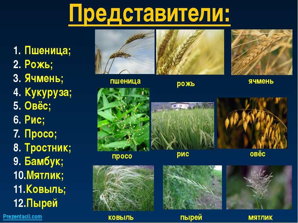 Представители: Пшеница; Рожь; Ячмень; Кукуруза; Овёс; Рис; Просо; Тростник; Б...