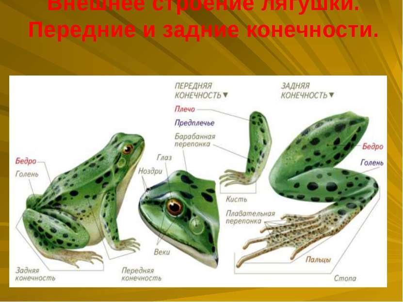 Внешнее строение лягушки. Передние и задние конечности.