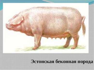 Эстонская беконная порода