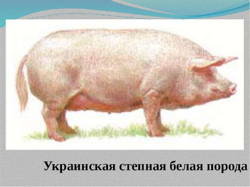 Украинская степная белая порода