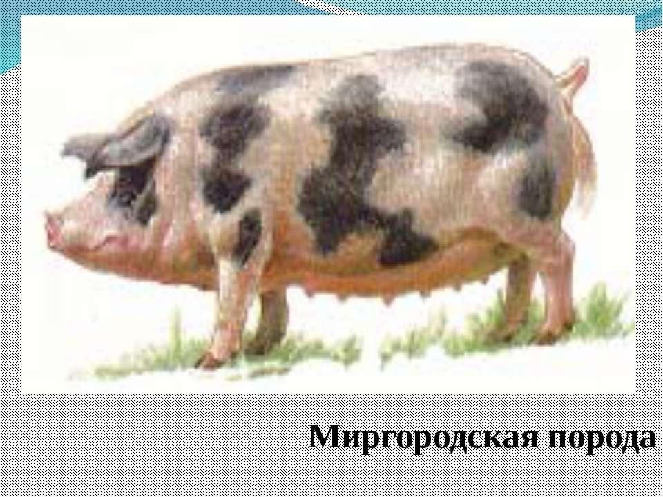 Миргородская порода