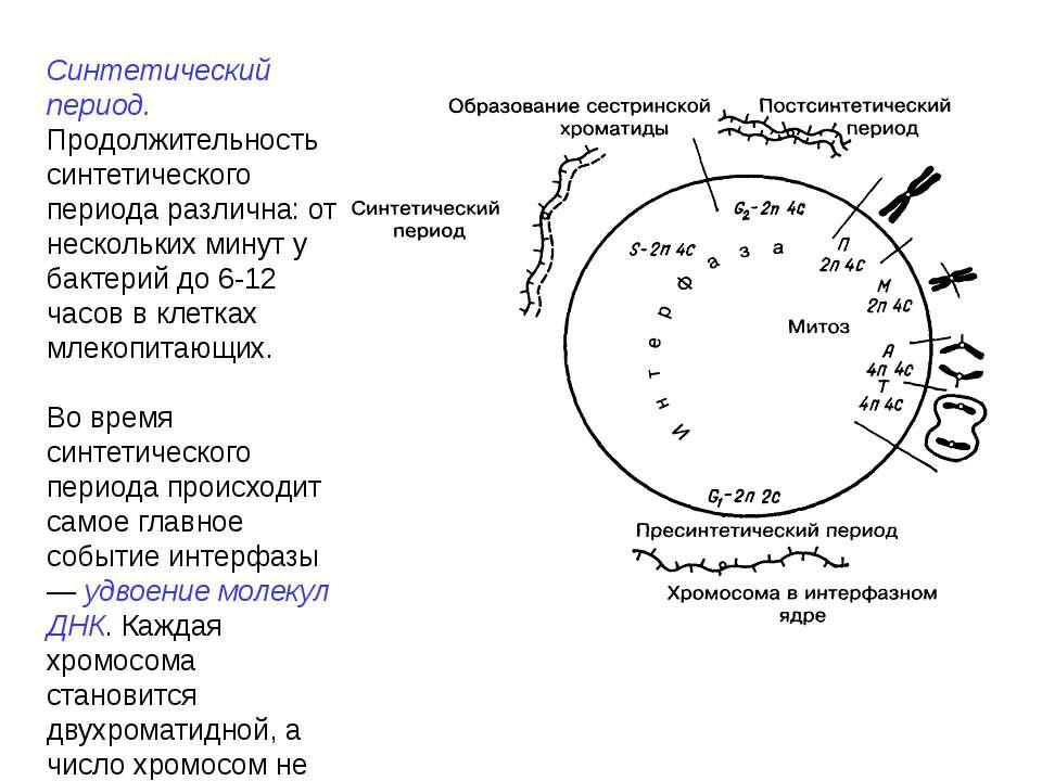 Синтетический период. Продолжительность синтетического периода различна: от н...