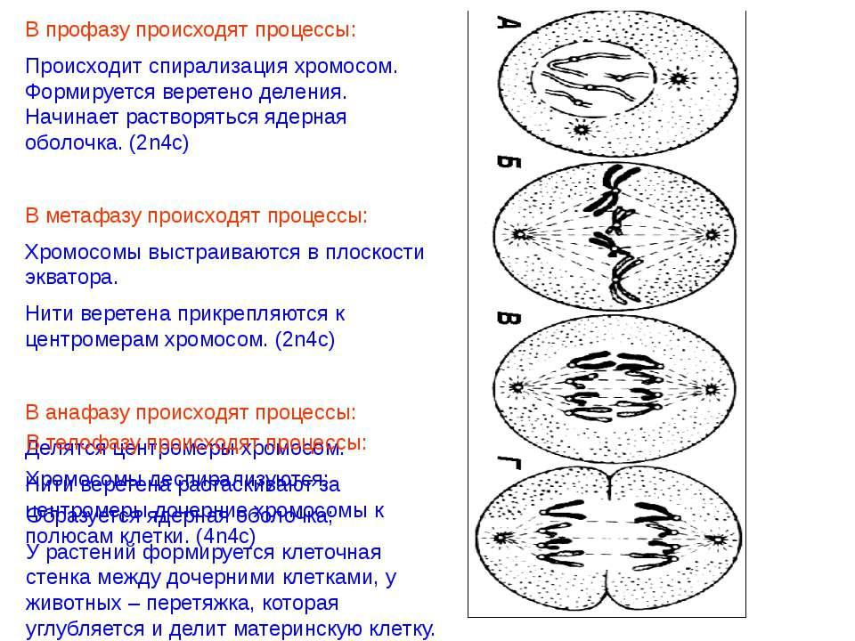Деспирализация хромосом при делении клетки происходит в