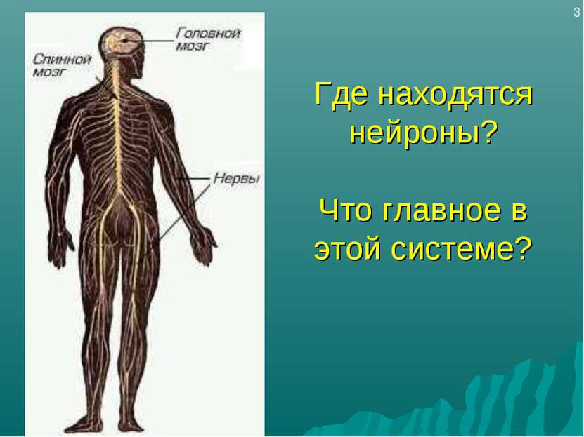 Где находятся нейроны? Что главное в этой системе? 3