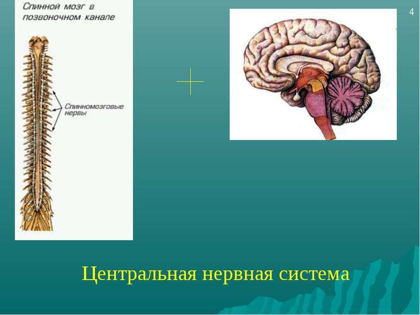 Центральная нервная система 4