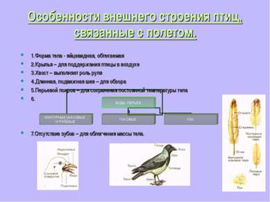 Особенности внешнего строения птиц, связанные с полетом. 1.Форма тела - яйцев...