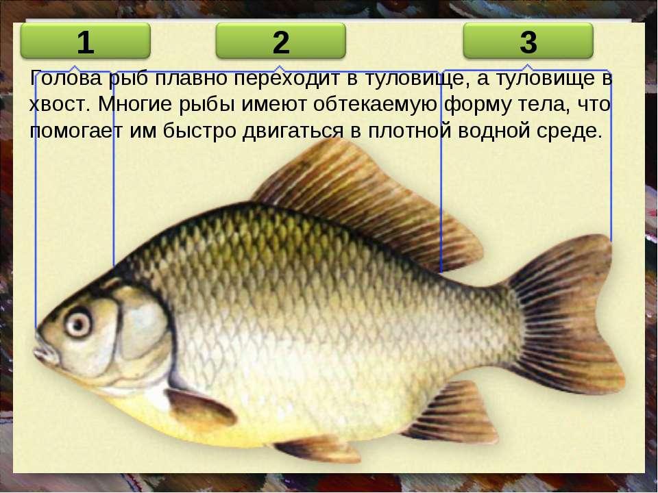 Голова рыб плавно переходит в туловище, а туловище в хвост. Многие рыбы имеют...