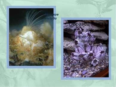 Морские желуди