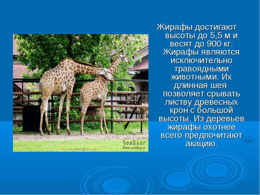 Жирафы достигают высоты до 5,5 м и весят до 900 кг. Жирафы являются исключите...