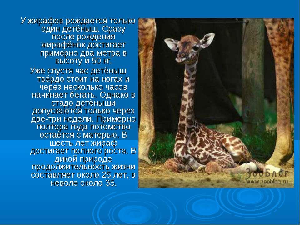 У жирафов рождается только один детёныш. Сразу после рождения жирафёнок дости...