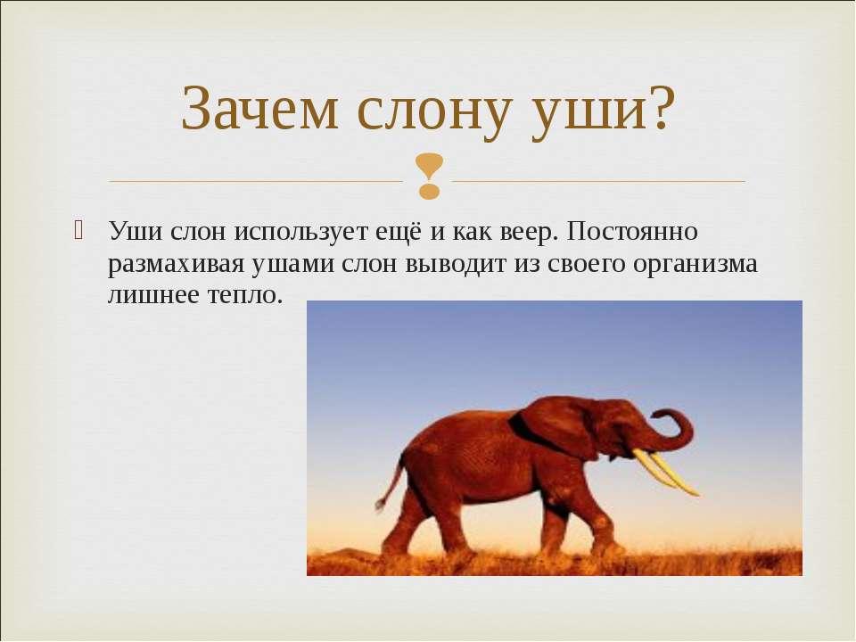 Уши слон использует ещё и как веер. Постоянно размахивая ушами слон выводит и...