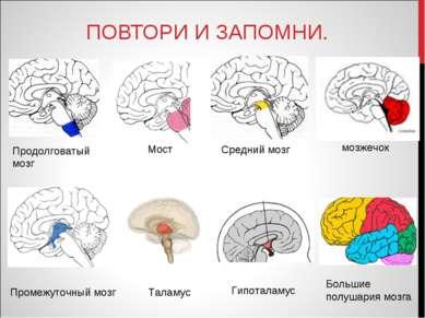 ПОВТОРИ И ЗАПОМНИ. Промежуточный мозг Таламус Продолговатый мозг Средний мозг...