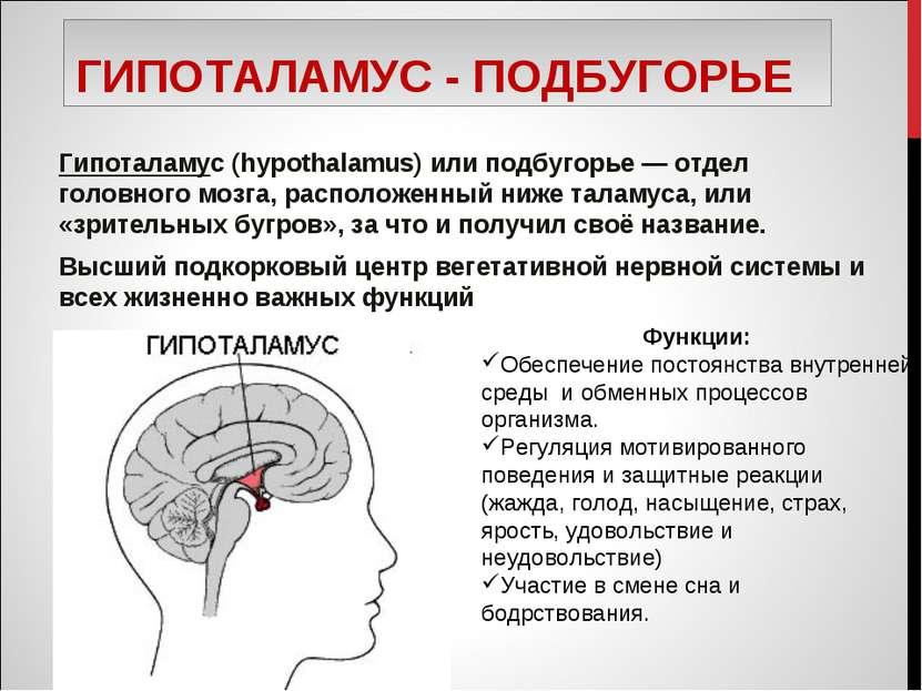 ГИПОТАЛАМУС - ПОДБУГОРЬЕ Гипоталамус (hypothalamus) или подбугорье — отдел го...