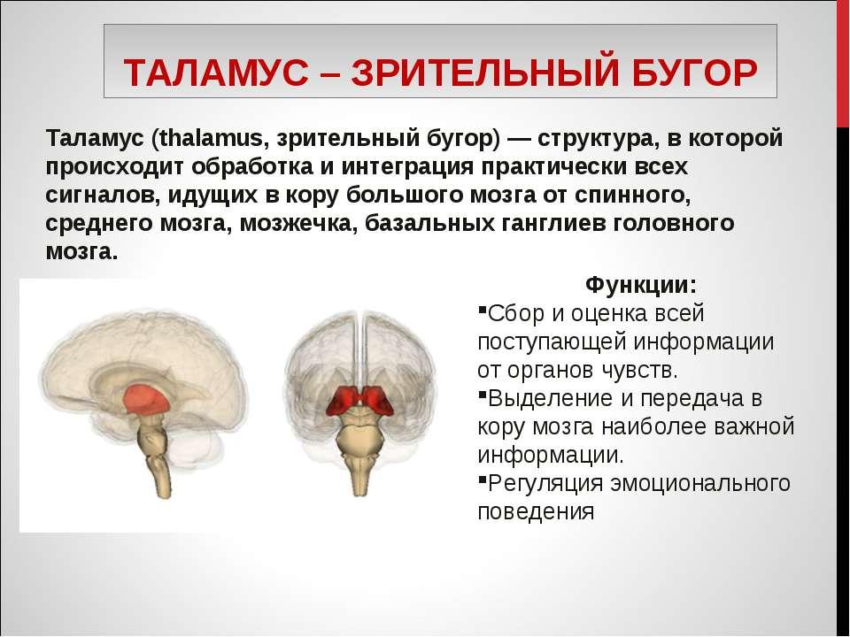 ТАЛАМУС – ЗРИТЕЛЬНЫЙ БУГОР Таламус (thalamus, зрительный бугор) — структура, ...