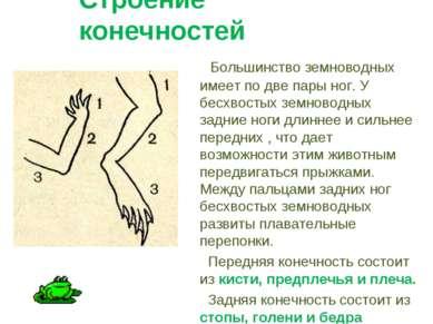 Строение конечностей Большинство земноводных имеет по две пары ног. У бесхвос...