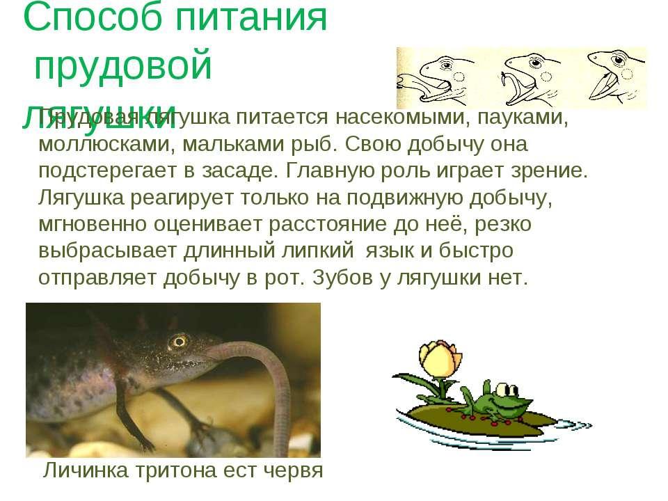 Способ питания прудовой лягушки Прудовая лягушка питается насекомыми, пауками...