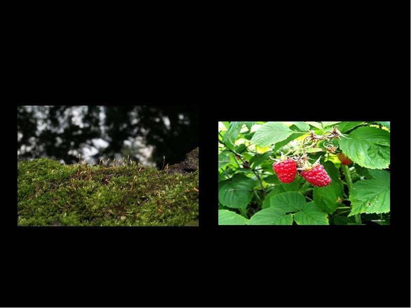 Мягок, а не пух; Зелен, а не трава. Летом рад я свежей Ягоде медвежьей; А суш...