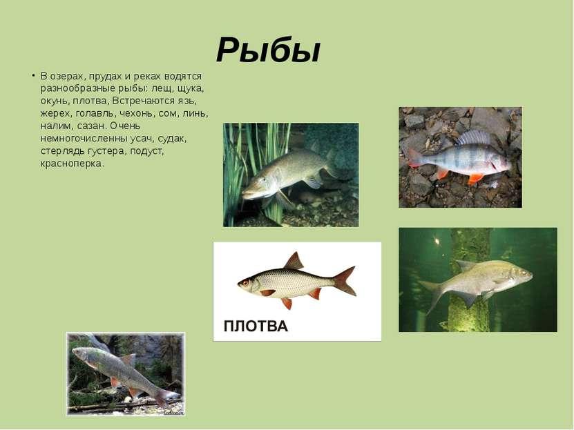 Рыбы В озерах, прудах и реках водятся разнообразные рыбы: лещ, щука, окунь, п...