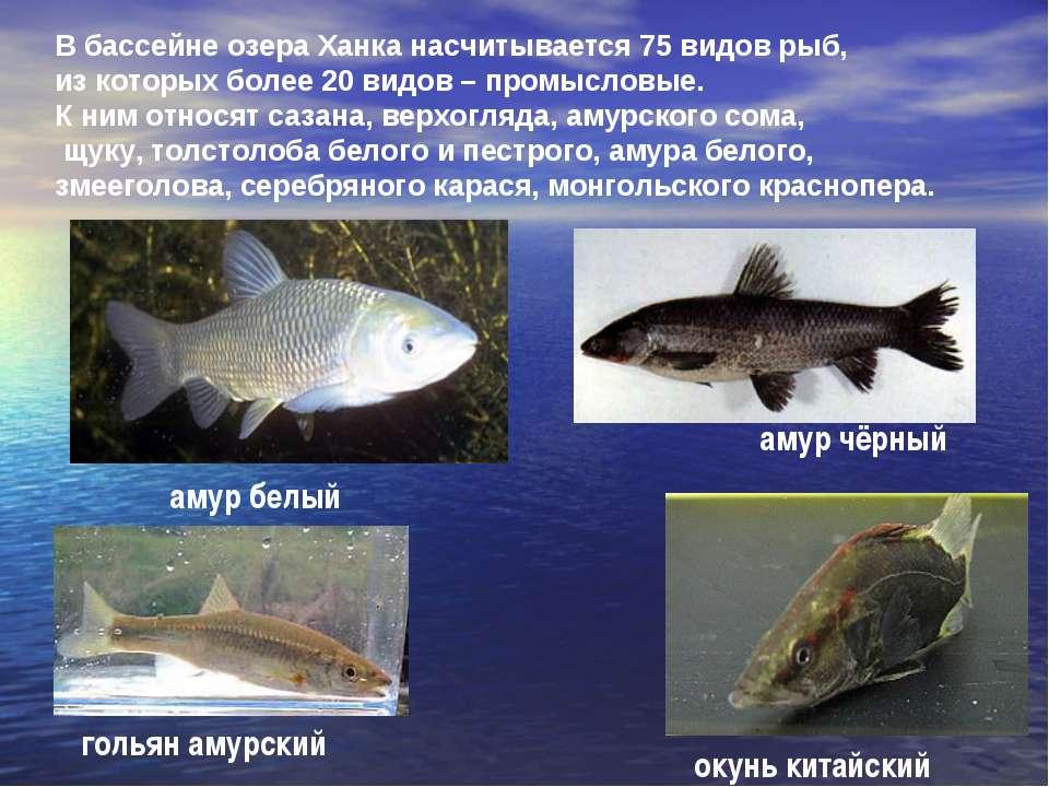 В бассейне озера Ханка насчитывается 75 видов рыб, из которых более 20 видов ...