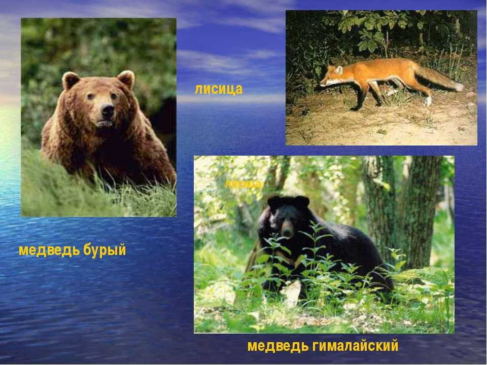 медведь бурый медведь гималайский лисица лисица