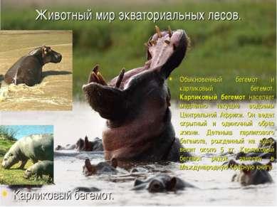 Животный мир экваториальных лесов. Обыкновенный бегемот и карликовый бегемот....