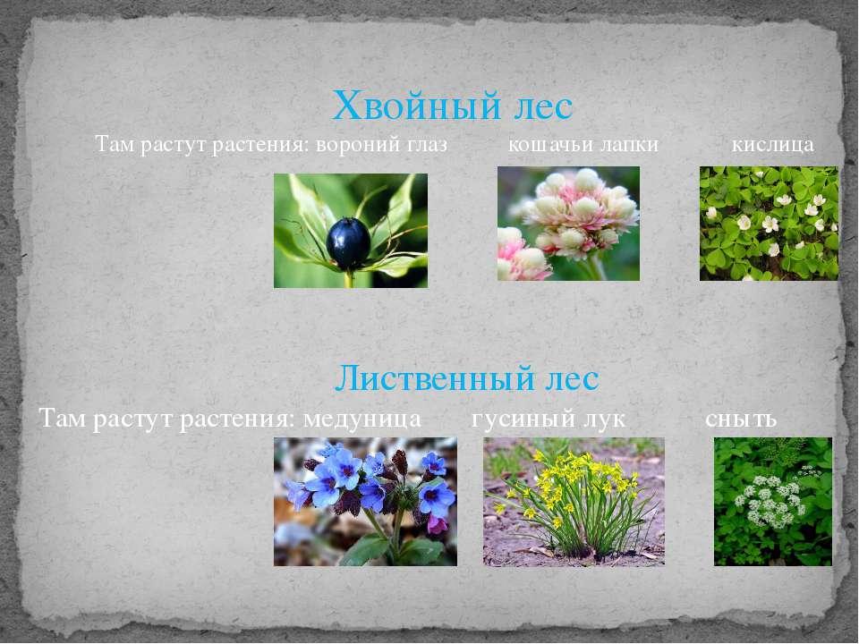 Хвойный лес Там растут растения: вороний глаз кошачьи лапки кислица Лиственны...