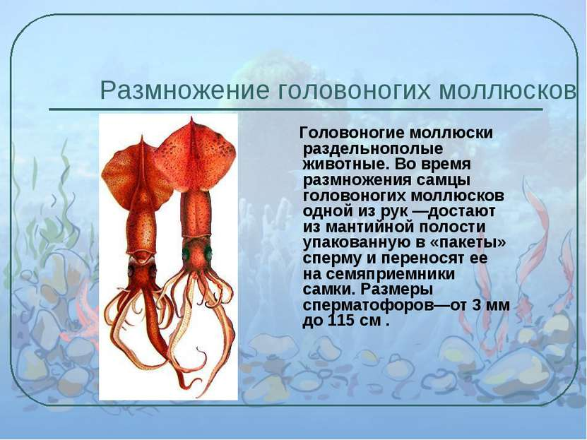 Размножение головоногих моллюсков Головоногие моллюски раздельнополые животны...