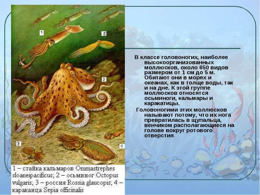 В классе головоногих, наиболее высокоорганизованных моллюсков, около 650 видо...