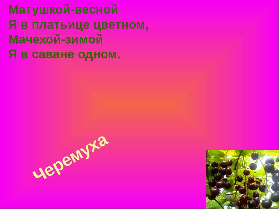 Черемуха Матушкой-весной Я в платьице цветном, Мачехой-зимой Я в саване одном.