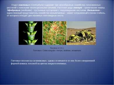 Отдел гнетовых (Gnetophyta) содержит три своеобразных семейства голосеменных ...