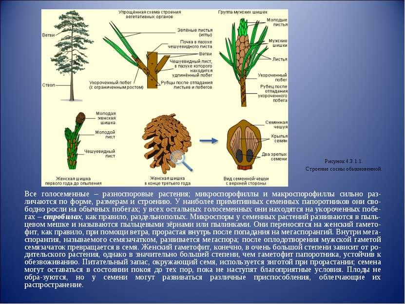 Все голосеменные – разноспоровые растения; микроспорофиллы и макроспорофиллы ...