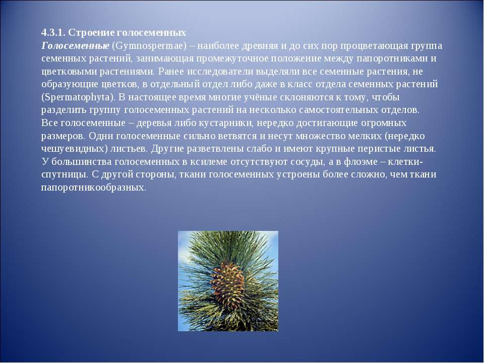4.3.1. Строение голосеменных Голосеменные (Gymnospermae) – наиболее древняя и...