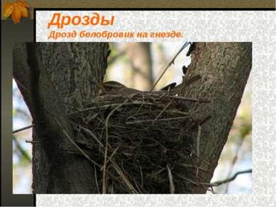 Дрозды Дрозд белобровик на гнезде.