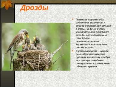 Дрозды Птенцов кормят оба родителя, прилетая к гнезду с пищей 150-200 раз в д...