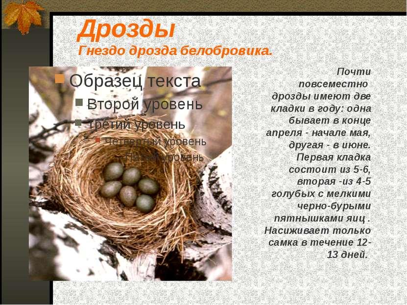 Дрозды Гнездо дрозда белобровика. Почти повсеместно дрозды имеют две кладки в...