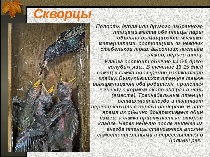 Скворцы Полость дупла или другого избранного птицами места обе птицы пары оби...