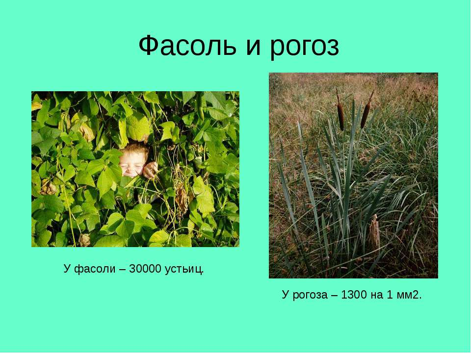 Фасоль и рогоз У рогоза – 1300 на 1 мм2. У фасоли – 30000 устьиц.
