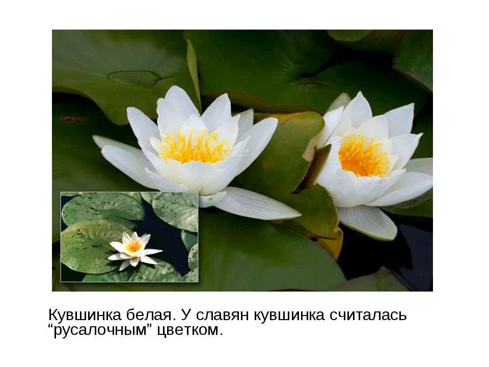 "Кувшинка белая. У славян кувшинка считалась ""русалочным"" цветком."