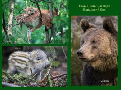 Национальный парк Баварский Лес Рысь Кабан Медведь