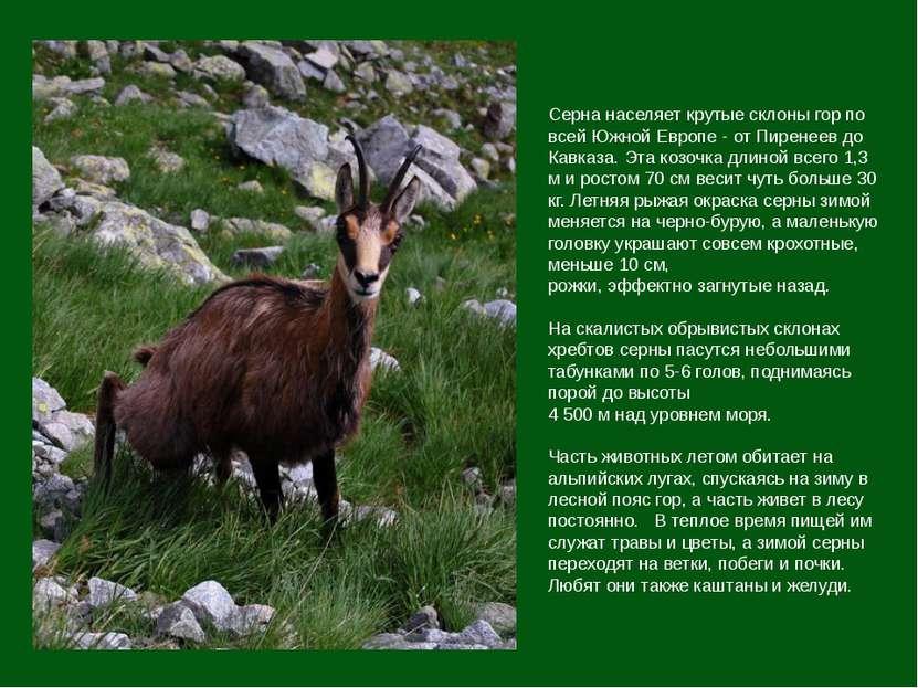 Серна населяет крутые склоны гор по всей Южной Европе - от Пиренеев до Кавказ...