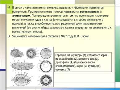 В связи с накоплением питательных веществ, у яйцеклеток появляется полярность...
