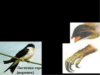 Птицы открытых воздушных пространств. (стрижи и ласточки) А. Широкий короткий...