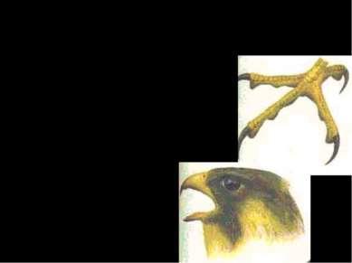 Дневные хищники А. В основном питаются позвоночными. Б. Когти длинные, острые...