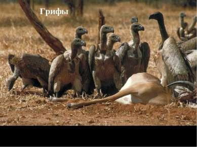 Грифы Питаются падалью, голова и шея слабо оперены, размах крыльев – 2,5м).