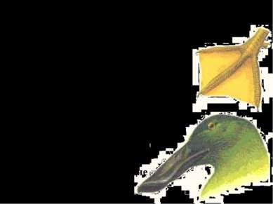 2. Водоплавающие птицы (утки, гуси, лебеди). А. Плавают и ныряют. Б. Имеют пе...