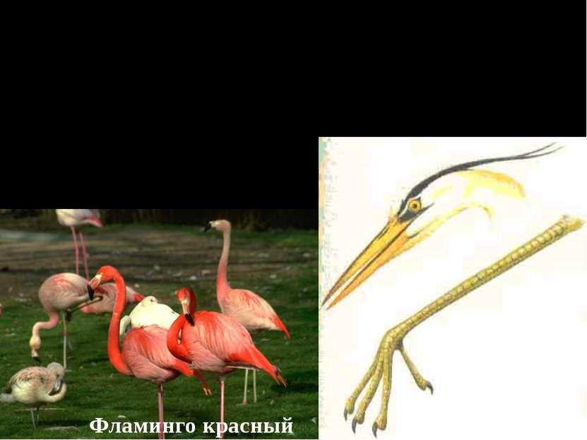 Птицы болот и водоёмов. 1. Цапли, аисты, фламинго. Имеют длинные тонкие ноги ...