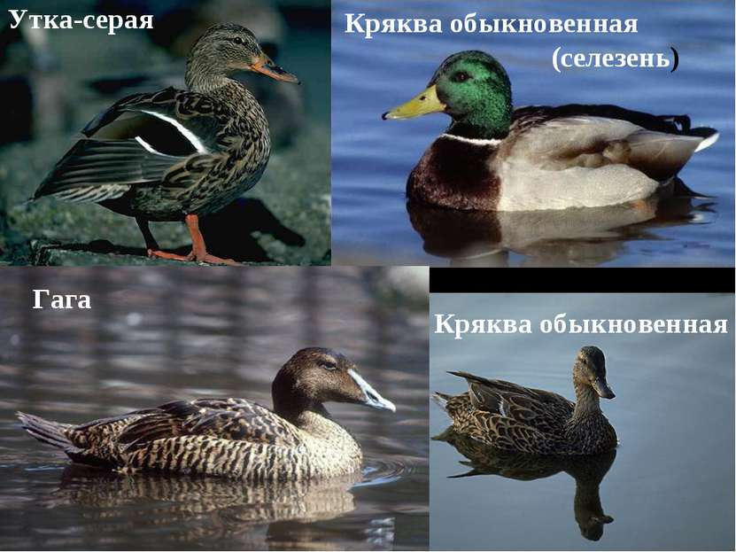 Утка-серая Кряква обыкновенная Кряква обыкновенная (селезень) Гага